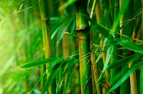 Government removes Bamboo from 'Tree' categories